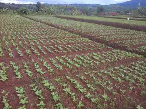 sayur-organik-siap-pacul-gbr-3